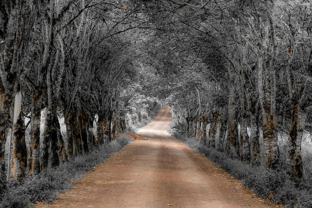 Tree-lined country lane on Santa Cruz Island, Galapagos Islands, Ecuador.