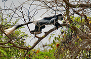 Black and White Colobus monkey, Colobus guereza, elegantly jumping among the braches in the forest from near Murchinson's Falls, Uganda.