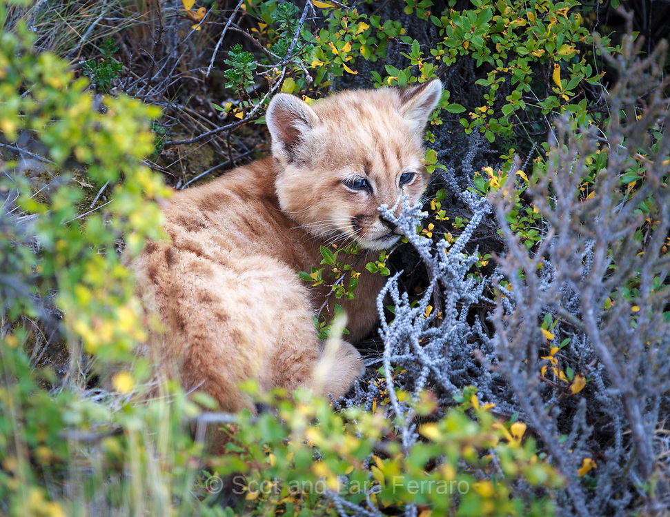 The mother mountain lion has hidden her three cubs in separte places in the scrub brush.  We were on a 10 foot cliff above them so our guides were able to spot them.  The brush was thick so it would have been difficult for any preditors on the ground level to find them.