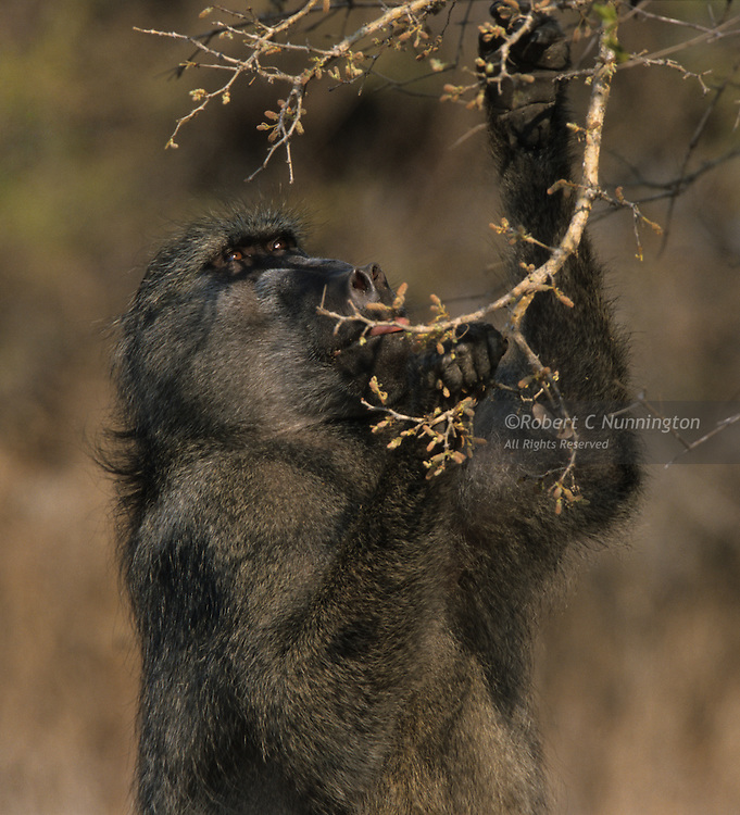 A baboon feeding in the late afternoon. Kruger National Park, Mpumalanga, South Africa