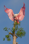 The spectacular coloring of the roseate spoonbill is due in part to food it eats.  The crustaceans they ingest feed on algae that contains pigments that impart a pink/red color.