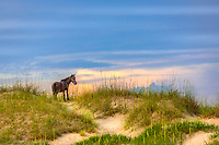 Wild stallion surveying his domain on the Outer Banks in Crova, NC.