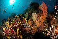 Soft corals, sea fans and sponges flourish on this healthy reef.  .Misool Island vicinity.  Near smaller island of Fiabacet.