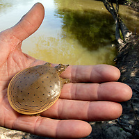 A hatchling Gulf Coast Spiny Softshell Turtle from the Leaf River in Mississippi
