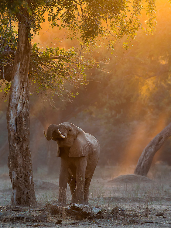Magical Mana Pools light encircles a young forest elephant.