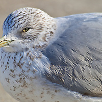 Portrait of a second winter ring-billed gull (Larus delawarensis) near the edge of the Choptank River, Cambridge, Maryland.