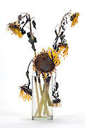 dying sunflowers