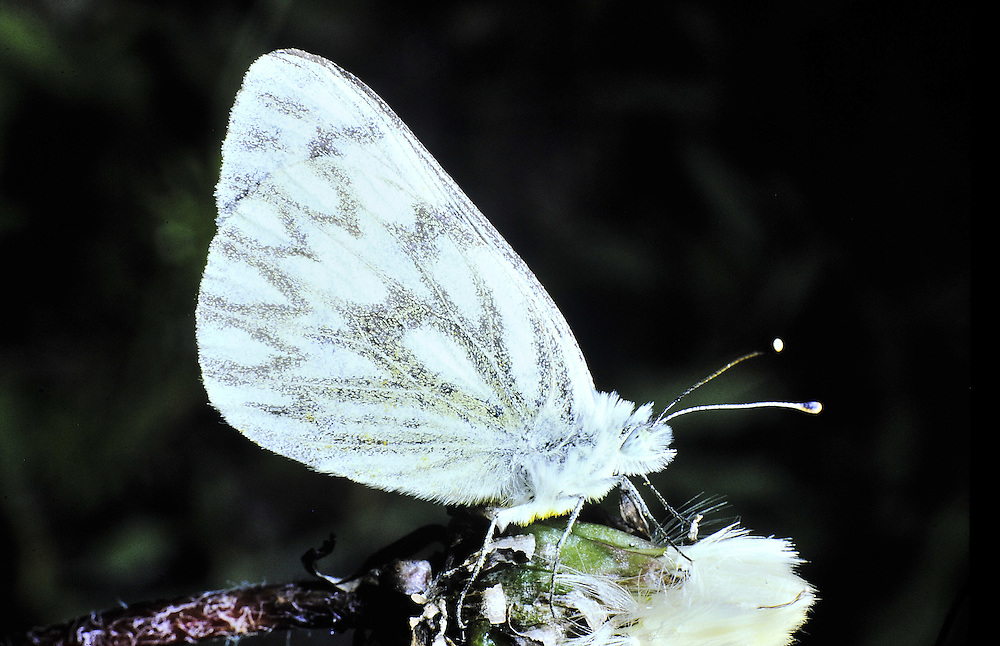 A common alpine pollinator (order Lepidoptera) Colorado