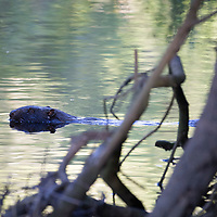A wild Eurasian Beaver swims in the River Tay near Dunkeld in Perthshire as the late evening sun hits the water...07.06.17<br />It is estimated that some 250 wild beavers have made their home in the River Tay/River Earn catchment areas. The Eurasian beaver, Castor fiber, was hunted to extinction in Scotland 400 years ago for their fur and a galndular oil (castoreum). The beavers in Tayside have been in the area since at least 2006, and originate either from escapes or deliberate releases from private collections. Beavers are completely vegetarian. They do not eat fish but instead prefer to munch on aquatic plants, grasses and shrubs during the summer months and woody plants in winter. <br />Picture by Graeme Hart.<br />Copyright Perthshire Picture Agency<br />Tel: 01738 623350  Mobile: 07990 594431