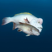 Pictured here is a mature male Asian sheepshead wrasse (Semicossyphus reticulatus) courting a smaller female wrasse. Note that the female's belly is swollen with eggs, indicative of her receptivity for spawning. The male takes on this white coloration for breeding and territorial competition with other males.