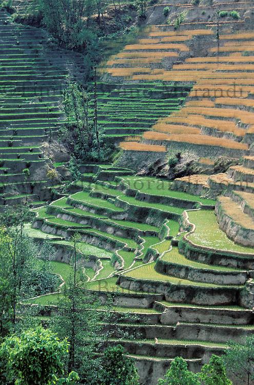 Nepal - Region de Pokhara - Rizière en terrasse