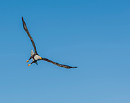 Bald eagle in flight against clear blue sky, making a turn, © 2005 David A. Ponton