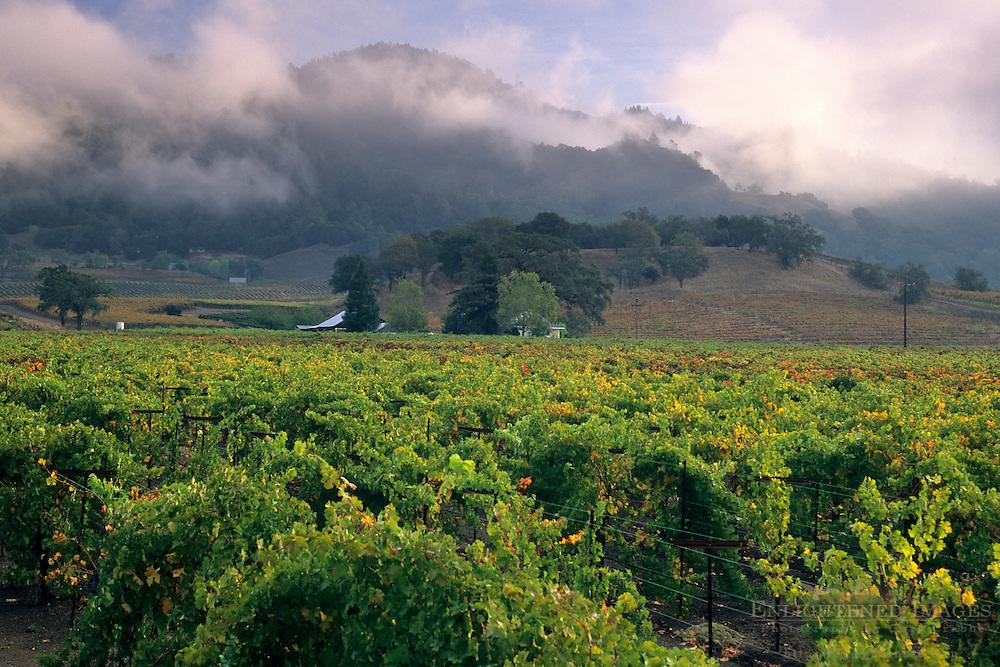 Morning fog over hills and vineyards, Sausal Vineyards, Alexander Valley, Sonoma County, California