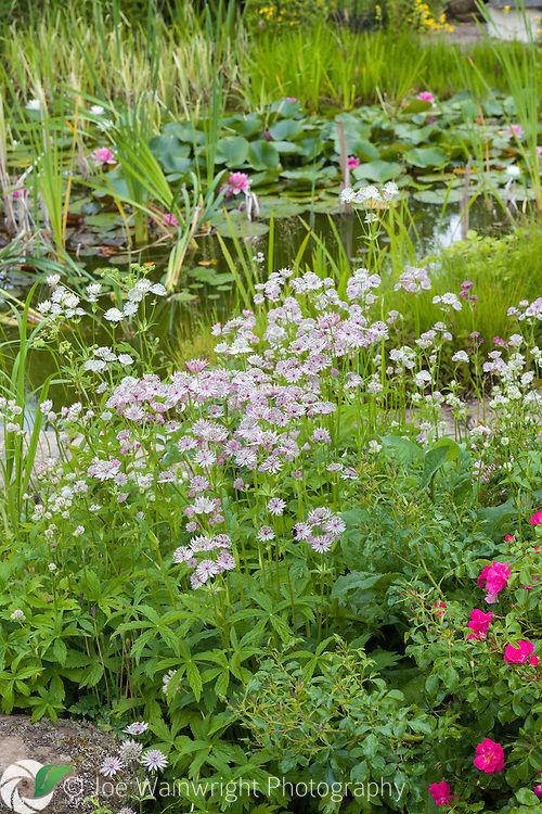 Astrantia and roses flower next to a pond at Bluebell Cottage Gardens, Cheshire - photographed in July