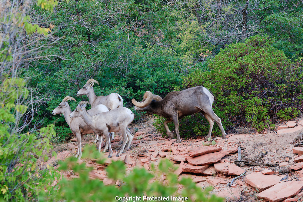 Desert Bighorn Ram asserting dominance over ewes by low stretch and twist of head
