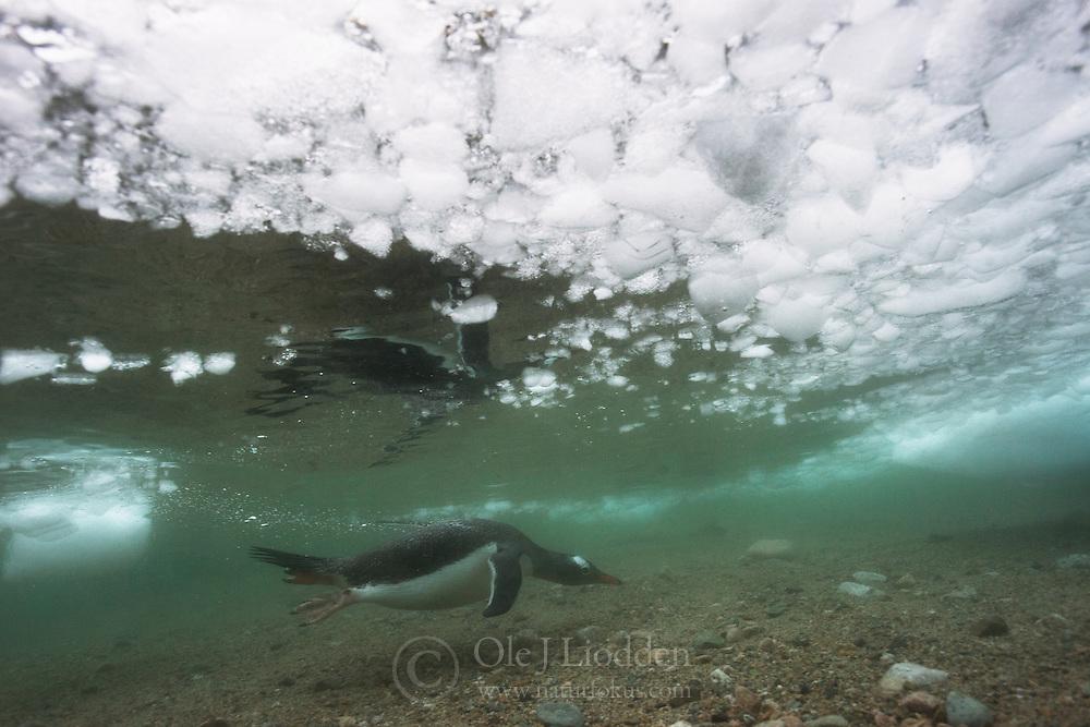 Gentoo Penguin (Pygoscelis papua) underwater in Antarctica