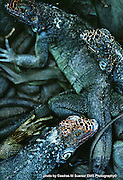 Panama, Rep. of Panama-- Iguanas pile on top of each other at an iguana farm in Chilibre a rural suburb of the City of Panama in the Republic of Panama on May 5, 1999.  The iguana farm is project of the Nationa Conservation Agency  (ANCON) as part of their alternative-meats program.  Photo by Essdras M Suarez
