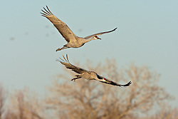 Sandhill cranes in flight (Grus canadensis) at Bosque del Apache National Wildlife Refuge, New Mexico, USA