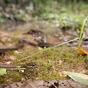 Khasi Hills Keelback (Hebius khasiense) in Phu Hin Rong Kla national park, Thailand