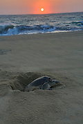 Green sea turtle laying eggs, Hotelito Desconocido Sanctuary Reserve & Spa, Costalegre, Jalisco, Mexico