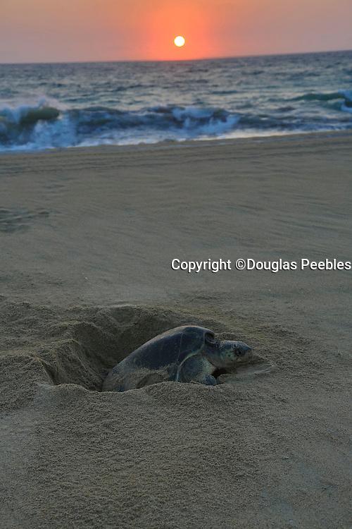 Green sea turtle laying eggs, Hotelito Desconocido Sanctuary Reserve & Spa, Costalegre, Jalisco, Mexico