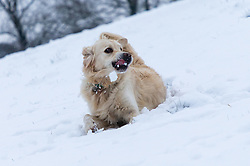 Golden Retriever Bruno rolls in the snow as people and their pets enjoy the three inches of snow on Hampstead Heath in North London. Hampstead, London, February 01 2019.
