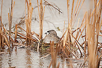Pied Billed Grebe sits on a floating nest of reeds and cattails.
