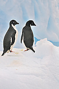 Two Adelie penguins on a iceberg.