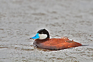 Ruddy Duck on Floating Island Lake in Yellowstone National Park