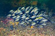 Snappers fish-Vivaneaux (Lutjanidae), indien ocean, South Africa.