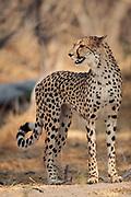 Cheetah, Botswana