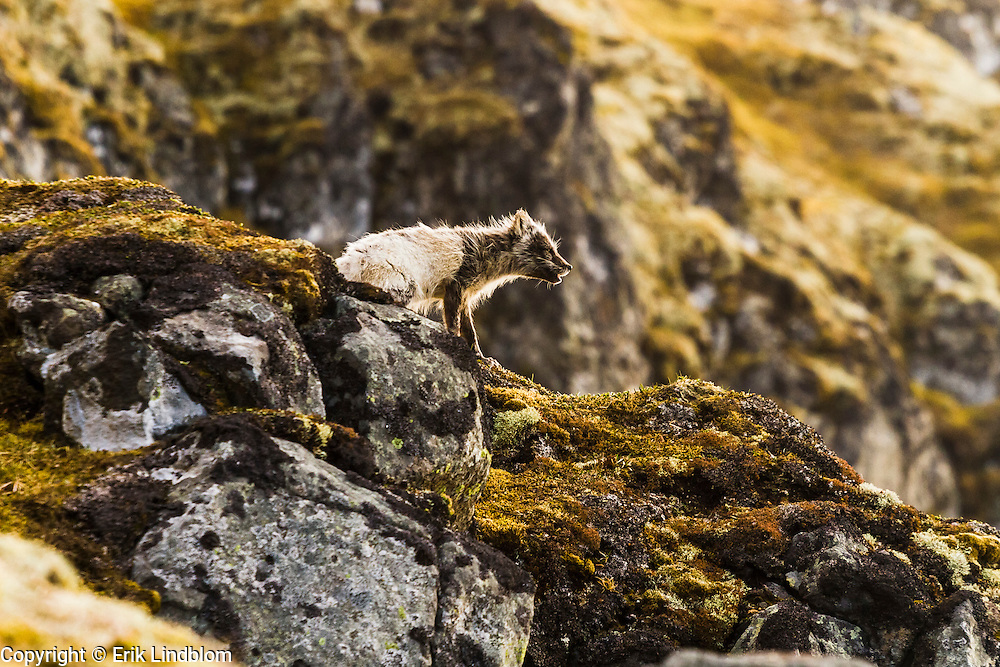 Arctic fox howling from a cliff, Hornstrandir Nature reserve, Iceland.