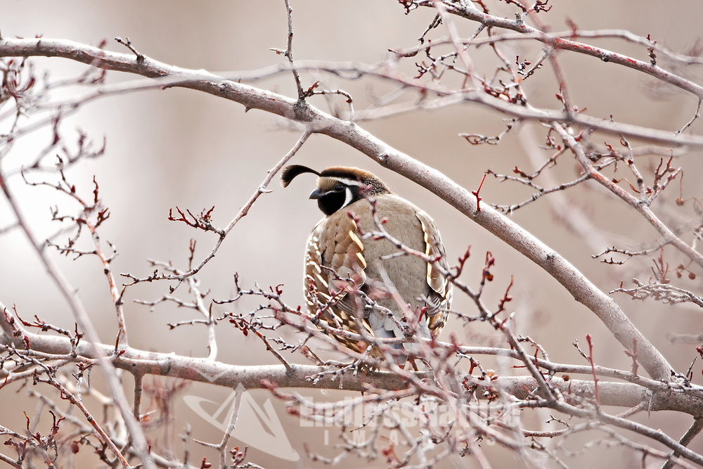 A male California quail perches in a tree resting out of the snow protected from ground predators.