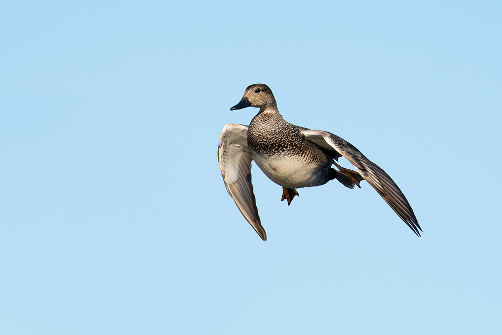Gadwall, Anas strepera, male, Harsen's Island, Michigan