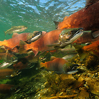 Life of the Red Salmon