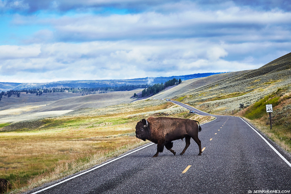 A large bison crossed the road in Lamar Valley, Yellowstone, Wyoming.