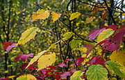 Detail of autumn colors in the forest of Riding Mountain National Park, as green leaves turn yellow and red during cooler fall weather.