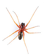 Linyphia hortensis - Male. A small but common hammock-web spider and spins a web low in the field layer in woodland.