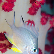 Damselfish against a soft coral at Lembeh Straits, Indonesia.