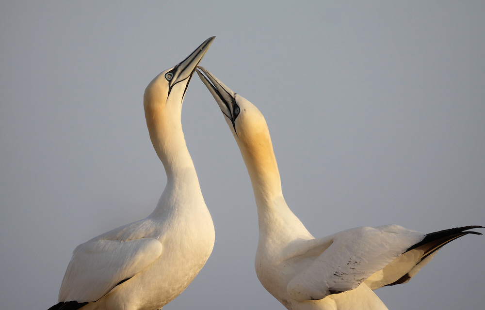 Gannets Sula bassana Saltee Islands Ireland