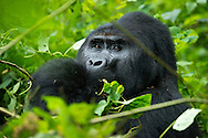 Bwindi Impenetrable Forest, Kabale, Uganda, April 2014. Nkuringo Gorilla Group Is among the larger groups within Bwindi Impenetrable Forest National Park and was named after the leading  their Leader Silverback.  Nkuringo has died and his position is taken over by the silverback Safari. Uganda is one of the best places to see mountain gorillas in their natural habitat. To go Gorilla tracking one needs a permit from the Uganda Wildlife Authourity. Photo by Frits Meyst / MeystPhoto.com