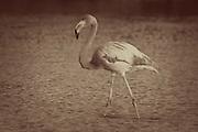 Greater Flamingo (Phoenicopterus ruber) near Bachas Beach on Santa Cruz Island (Indefatigable Island), Galapagos Islands, Ecuador. A filter has been applied to imitate a vintage photo look.