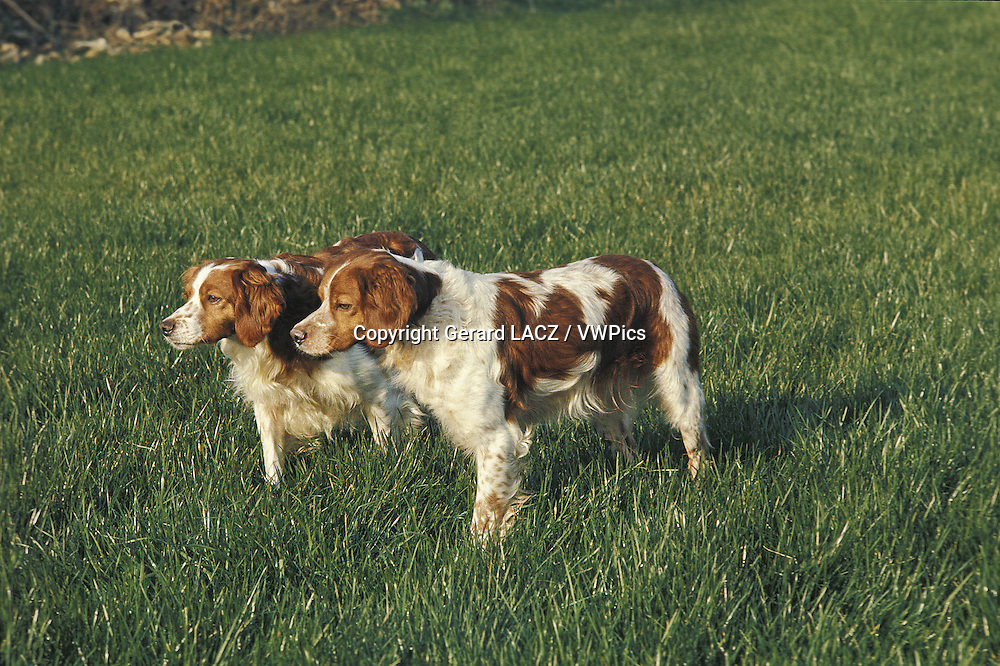 Brtittany Spaniel, Adults Pointing