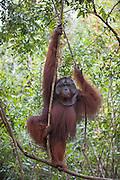 Bornean Orangutan <br /> Pongo pygmaeus<br /> Dominant male <br /> Tanjung Puting National Park, Indonesia