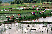 Women plant rice fields near Menghan, Xishaungbanna, China.