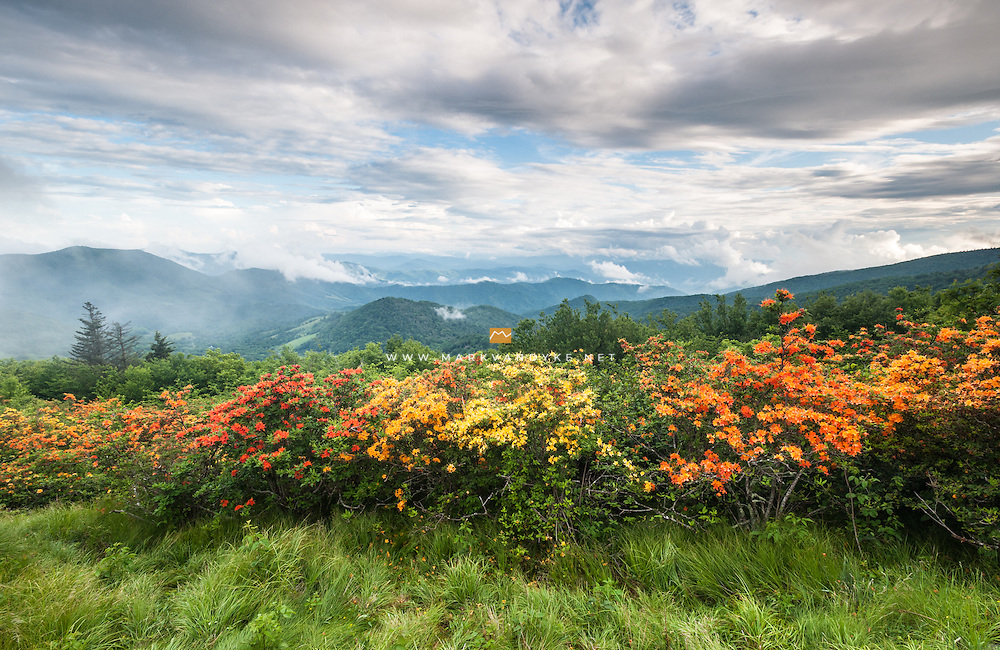 Colorful Flame Azalea bloom along the Appalachian Trail in the Engine Gap area of the Roan Highlands signaling spring in the high country.  The Roan Highlands are a series of grassy balds along the state lines of Western North Carolina and Eastern Tennessee.