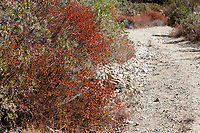 Eriogonum fasiculatum (California buckwheat) gone to seed at Grizzly Flat, Angeles NF, Los Angeles Co, CA, USA, on 10-Sep-16