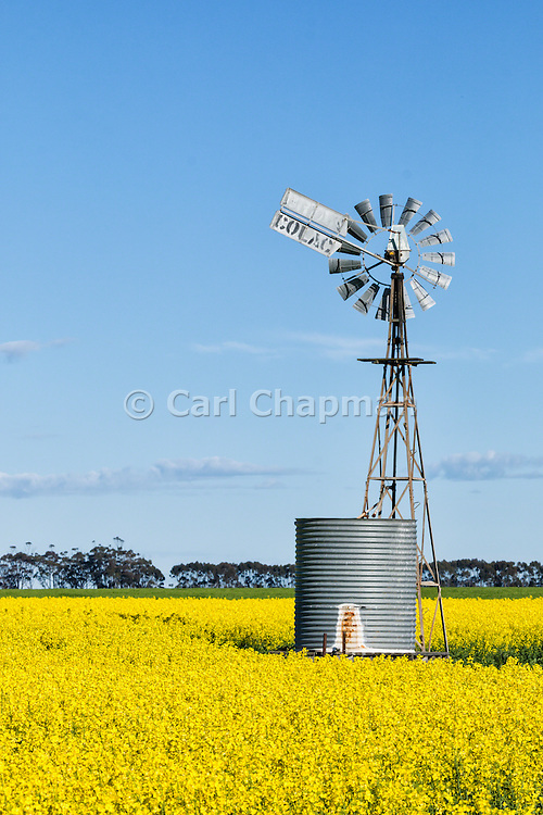 windmill and water tank in field of flowering canola during sprintime near Cressy, Victoria, Australia
