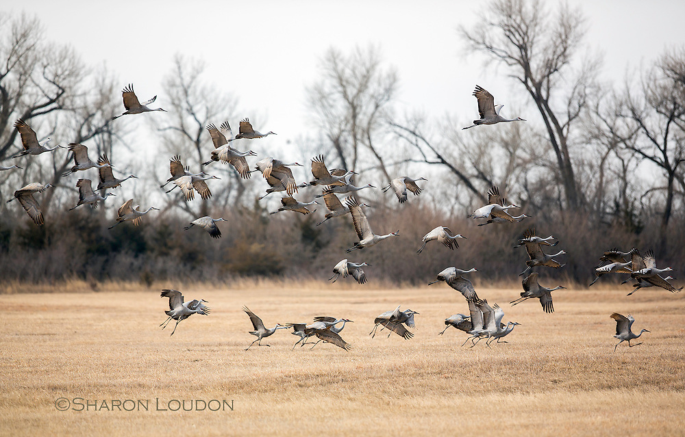 Sandhill Cranes take flight - rural Nebraska