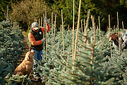 Farming in Oregon and Washington. At a conifer farm in Oregon a golden retriever dog watches a worker tend to the trees.